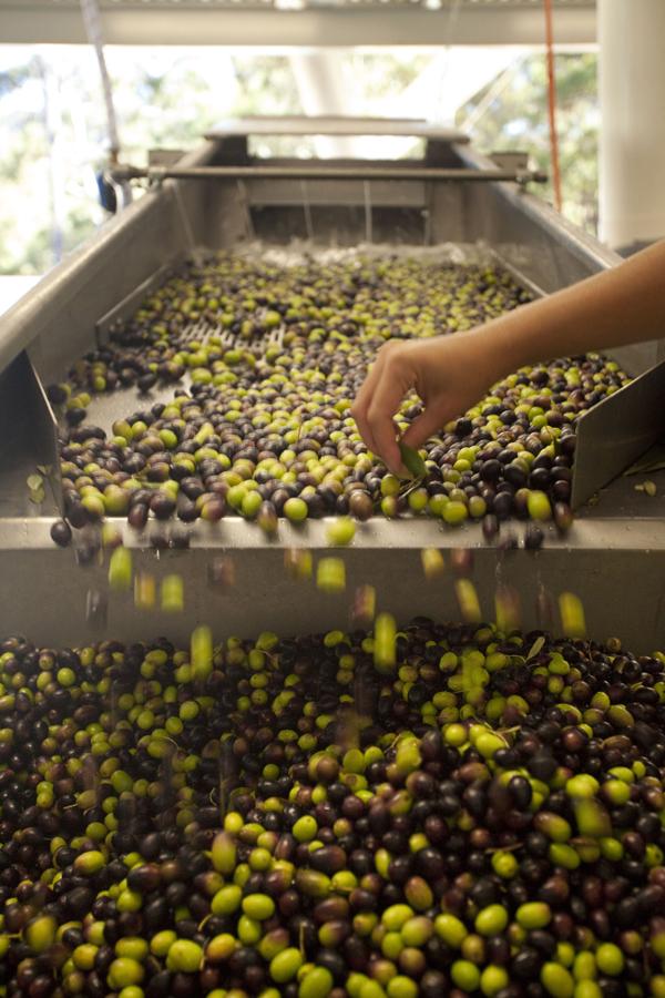 olives alto