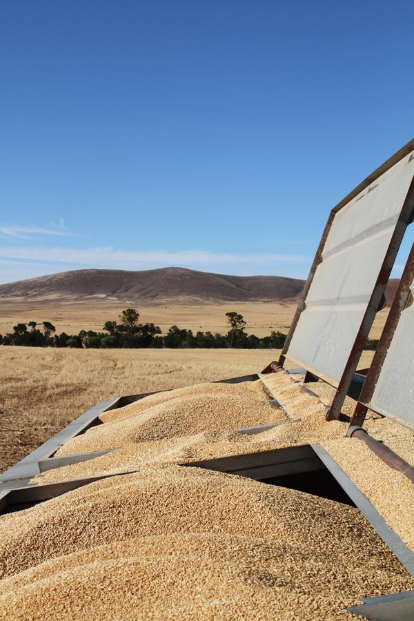 Grains during harvest in the Flinders Ranges